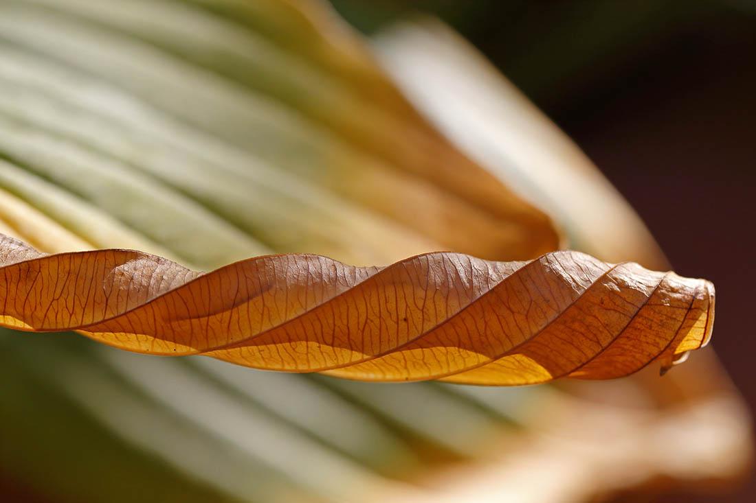 eingerolltes Blatt einer Funkie (Herzblattlilie)