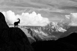 Ein Steinbock mit langen Hörner steht auf einem Felsvorsprung und schaut Richtung Tal. Das Bergpanorama im Hintergrund und zwei Wolken auf Höhe des Steinbocks sind zu sehen. Die Fotoaufnahme ist in schwarz/weiss.