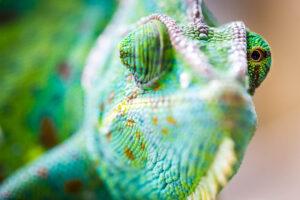Makroaufnahme eines grünes Chameleons von vorne. Mit einem Auge schaut es geradeaus, mit einem nach hinten.