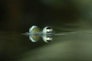 Zwei Augen des Vierauges sind sichtbar. Ansonsten nichts, nur die ruhige Wasseroberfläche.