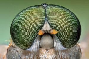 Makroaufnahme einer Fliege von vorne. Die vielen kleinen Unterteilungen auf den Augen der Fliege sind erkennbar.