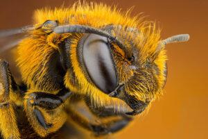 Makroaufnahme eines Bienenkopfes. Die Augen sind komplett schwarz.
