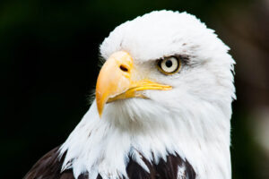 Der Kopf eines Weisskopfadlers. Er schaut mit dem ganzen Kopf nach rechts. Seine Augen sind hellgelb und haben eine runde schwarze Pupille.