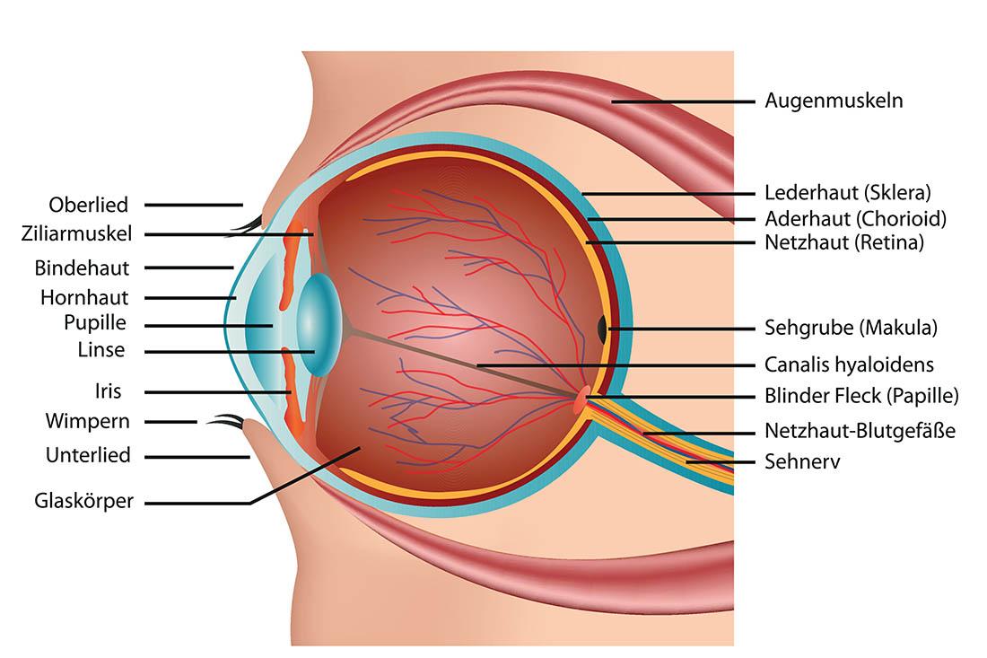 Anatomischer Aufbau des Auges. Es zeigt die Adernhaut rund um das Auge.