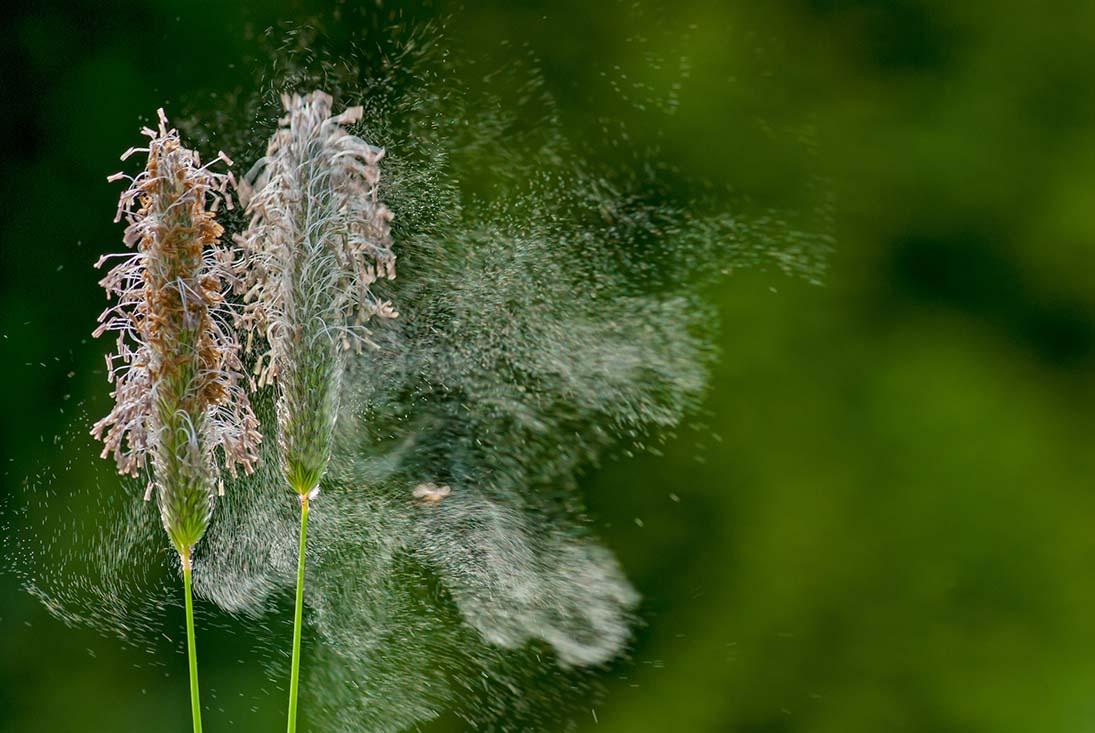 Nahaufnahme von blühenden Gräsern, deren Pollen vom Wind davongetragen werden.