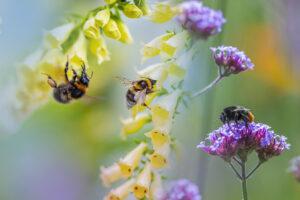 Bienen sitzen auf gelben und violetten Blumen und sammeln Nektar.