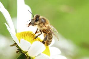 Eine Biene sitzt auf einem weissen Gänseblümchen, das sich deutlich vom grünen Hintergrund abhebt.