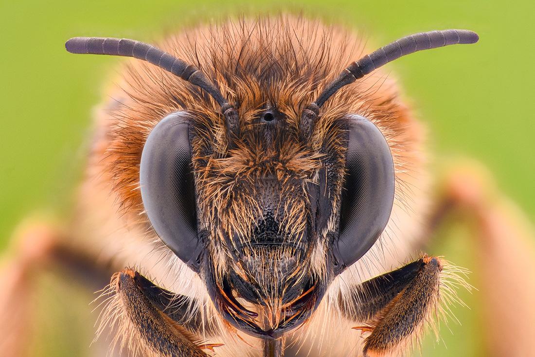 Grossaufnahme einer Biene von vorne so dass die Augen gut zu sehen sind.