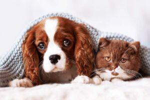 Ein junger Hund liegt neben einer Katze unter einer Decke.