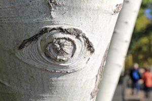 Die Form eines Auges wurde in einen Baum geritzt.