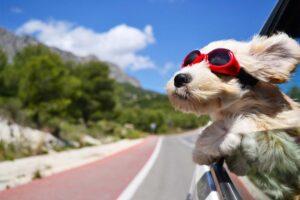 Ein kleiner Hund mit Sonnenbrille schaut aus dem Autofenster und genießt den Fahrtwind.