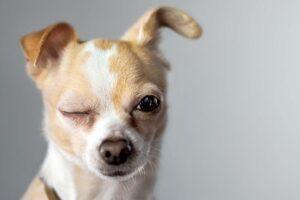Ein kleiner Hund kneift ein Auge zu.